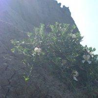 Каперсы цветут :: Маера Урусова