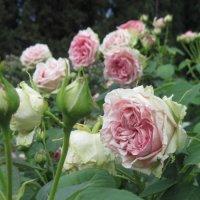Розы :: Маера Урусова