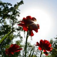 Солнечные лучики на тюльпанчике :: Вика К.