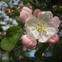 расцветали яблони и груши ...(с) :: Тася Тыжфотографиня
