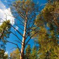 небо в лесу :: Ольга Белёва