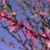 ...нежное цветение персика..... :: Ольга Стёпочкина