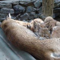 Новосибирский зоопарк.Рыси. :: Светлана Винокурова