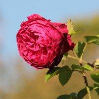 Роза :: alexander halezin