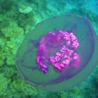 Фиолетовая медузка :: Дарья Цыганок