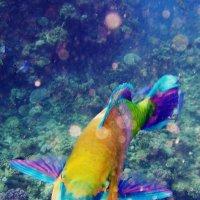 рыба - попугай :: Дарья Цыганок