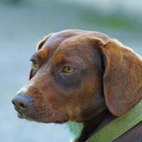 Просто симпатичный пёс :: Владимир Богославцев(ua6hvk)
