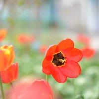 тюльпаны :: Наталья Журавлева