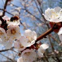 Цветы абрикоса :: Ирина