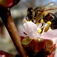 Пчелка :: Ирина