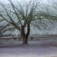 Дерево, вариант № 2 :: Наталья Руссиян