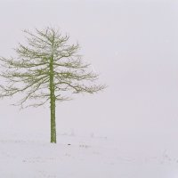 Дерево в тумане :: Pavel Sidorenko