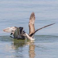 Чайки серебристые в Азовском море :: Александр Неустроев