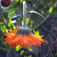 Замороженный цветок :: Сергей Стреляный