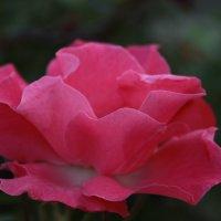 Роза :: Евгения Нордгеймер