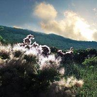 Цветет скумпия :: viton