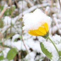 календула под снегом :: Tanyana Zholobova
