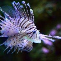 Рыбка Крылатка :: Нина