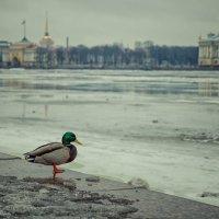 Одинокий селезень :: Ксения Старикова