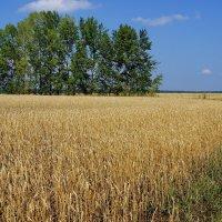 Хлебное поле :: Виктор Четошников
