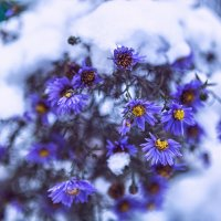 Октябринка в снегу :: Вадим Лячиков