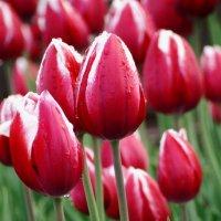 Тюльпаны. :: Александра .