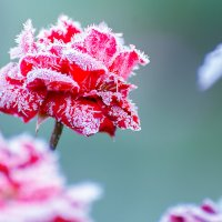Замерзшая роза :: Максим Рублев