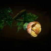 Цветок на тёмном фоне. :: Юрий Харченко