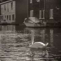 Лебедь :: Андрей Бойко