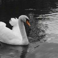 Лебедь на Патриарших прудах :: Ольга Мансурова