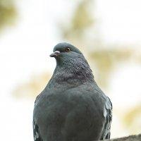 голубь... :: Elena Tatarko (фотограф)