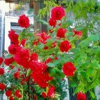 Нарядные вьющиеся розы :: Нина Корешкова