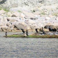 Морские птицы-13. :: Руслан Грицунь