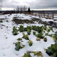 Капуста и под снегом дозревает :: Николай Туркин