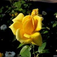 Жёлтая роза октября :: Нина Бутко