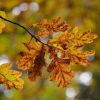 Дубовый лист, красавец благородный... :: Ольга Русанова (olg-rusanowa2010)