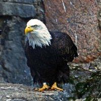 Белоголовый орлан :: Александр Запылёнов