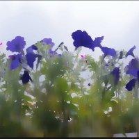 Петуньи в тумане. :: Любовь Чунарёва