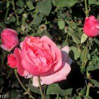 Октябрьские розы :: Нина Бутко