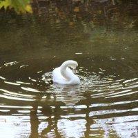 Лебедь белый! :: ast62