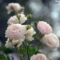 Нежность роз :: Светлана Ширяева