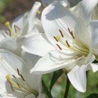 Белые лилии :: Наталия Григорьева