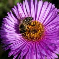 Пчела :: Алексей Головин