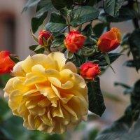 осенняя роза :: Naty ...
