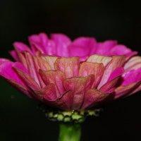 Идеальный цветок :: Tatiana Belyatskaya