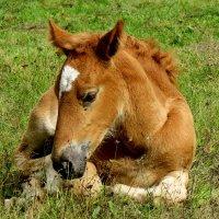 Жеребёнок ... рыжей лошади ребёнок ... :: Светлана