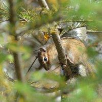 Лесной житель бурундук :: Александр Маркелов