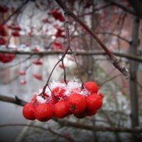 Рябинка под снежной косынкой . :: Мила Бовкун