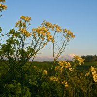 солнечные цветы :: Елена