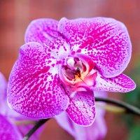 Орхидея. :: Геннадий Оробей